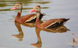 Black-bellied Whistling Ducks Royalty Free Stock Images