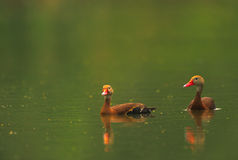 Black-bellied Whistling Ducks. A pair of black-bellied whistling ducks swim on a pond Royalty Free Stock Photo