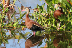 Black-bellied Whistling-ducks Royalty Free Stock Photo