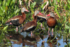 Black-bellied Whistling-ducks Royalty Free Stock Image