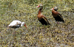 Black Bellied Whistling Ducks Royalty Free Stock Photos