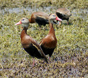Black Bellied Whistling Ducks Royalty Free Stock Image