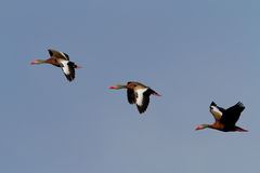 Black-bellied whistling ducks (Dendrocygna autumnalis) Royalty Free Stock Image