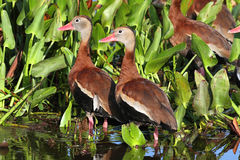 Black-bellied Whistling-ducks Royalty Free Stock Images