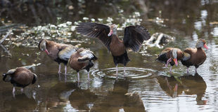 Black-Bellied Whistling Ducks stock images