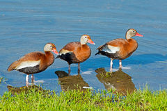 Black-bellied Whistling Ducks. A group of Black-bellied Whistling Ducks standing in the water royalty free stock photo