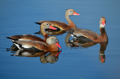 Black Bellied Whistling Ducks Out For a Swim Royalty Free Stock Photos