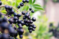 Black berries Stock Photography