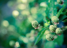 Black berries Royalty Free Stock Images