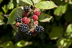 Black Berries. Ripening late summer in the English countryside Stock Images