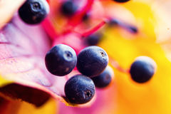 Black berries in autumn. Beautiful autumn. Red and Yellow leaves.  Stock Photography
