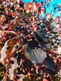 Black berries. Blackberries elders with colorful aun leaves during the daylight with sun rays stock photos