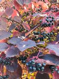 Black berries. Blackberries elders with colorful aun leaves during the daylight with sun rays royalty free stock images