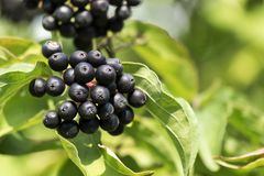 Black berries of common dogwood. Cornus sanguinea stock photo