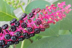 Black berries on an exotic plant Royalty Free Stock Images