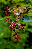 Black Berries in the Fall. Wild Blackberries in the Smoky Mountains of Western North Carolina stock photos