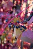 Black berries of  Frangula. Stock Photo
