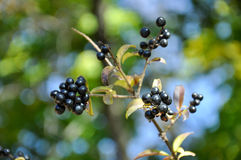 Black berries Royalty Free Stock Photo