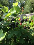 Black berries. Growing wild on old fence line Stock Images