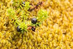 Black berries Stock Photo