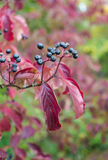 Black berries and red leaves in autumn Royalty Free Stock Photography