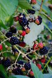 Black berries. Some summer black berries are ripe for the picking Stock Images