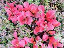 Black Berries Royalty Free Stock Photos