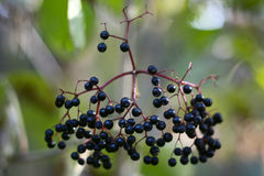 Black berries. In the woods stock photos