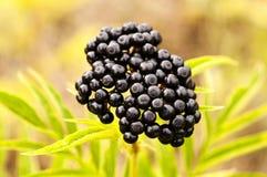 Black berry stock photos