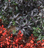 Black berry. In the flowered bed Royalty Free Stock Photo