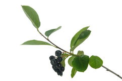 Black berry aronia Stock Image