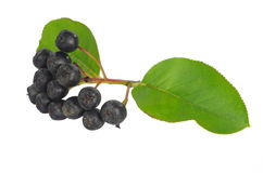 Black berry aronia Royalty Free Stock Image