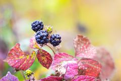 Black berry blackberry with multicolored leaves on a blurry background_. Black berry blackberry with multicolored leaves on a blurry background stock photo