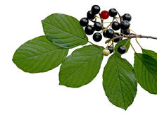 Black berry buckthorn Royalty Free Stock Images
