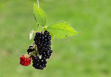 Black berry bush Stock Photography