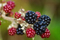 Black berry Royalty Free Stock Photography