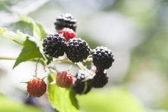 Black berry closeup background Royalty Free Stock Image