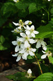 Black Berry Flower. A white flower of a black berry plant Stock Image