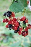 Black berry Stock Photography