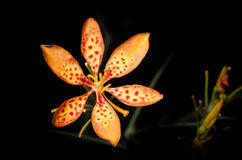 Black Berry Lily Royalty Free Stock Images