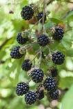 Black Berry Stock Image