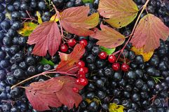Black berrys of chokeberry and viburnum opulus with color leafs in autumn as background Stock Photography