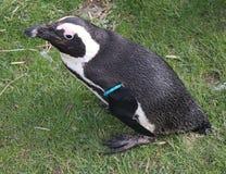 Black betaalde Pinguïn Royalty-vrije Stock Foto