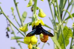 A black Bhawra collecting the nectar from Scotch Broom flower Stock Photos