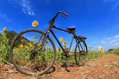 Black bicycle in sunflowers field Stock Photos