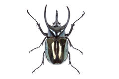 Black big beetle Chalcosoma caucasus isolated Royalty Free Stock Photography