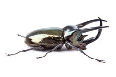 Black big beetle Chalcosoma caucasus isolated Royalty Free Stock Images