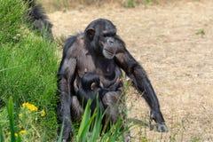 Black chimpanzees monkey leaving in safari park close up royalty free stock images