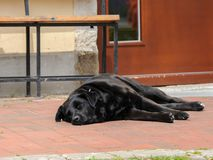 Black dog sleeping on the ground in front of bench and door. Black, big dog sleeping on the ground in front of bench and door Royalty Free Stock Photos