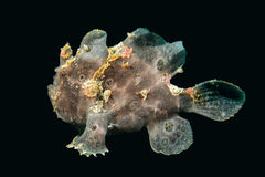 Black big frog fish underwater Royalty Free Stock Photos